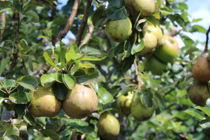 Sue's Cornish Kitchen Pear Tree
